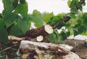 адамовый корень